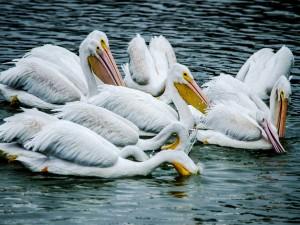 Pelícanos blancos en el agua