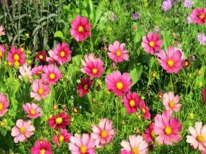 Hermosas flores cosmos