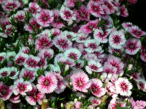 Conjunto de flores (Dianthus barbatus) blancas y fucsias