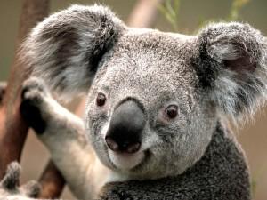 La simpática cara de un koala