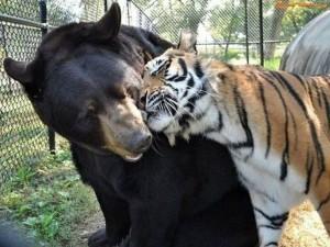 Tigre frotando su cabeza sobre el cuello de un oso