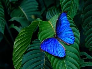 Mariposa azul sobre una hoja verde