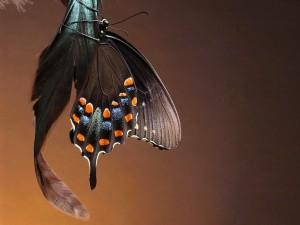 Mariposa sobre una pluma negra