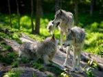 Lobos descansando en el bosque