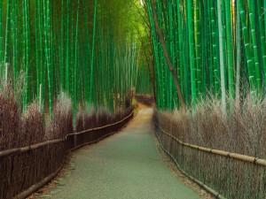 Sendero a través de un bosque de bambú