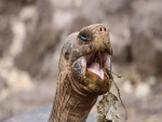 Tortuga mostrando su gran boca