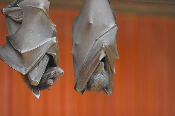 Murciélagos descansando envueltos en sus alas