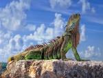 Iguana de bonitos colores tomando el sol en una roca