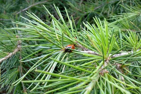 Mariquita entre las ramas de un pino