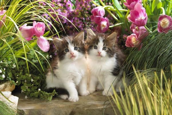 Dos gatitos entre tulipanes