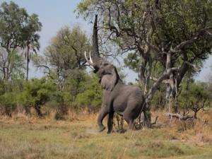 Un elefante alterado