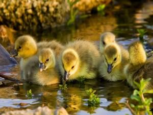 Un grupo de patitos en el agua