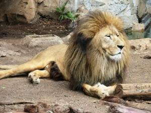 León pasando sus días en un zoo