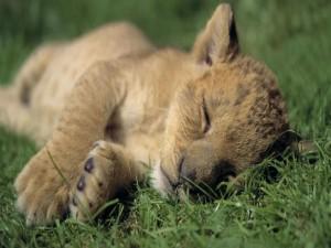Pequeño león dormido sobre la hierba