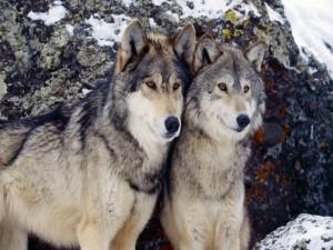 Dos lobos junto a unas rocas cubiertas de nieve