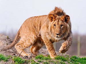 Un joven y hermoso león