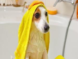 Perro sentado en la bañera cubierto con una toalla