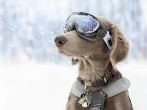 Perro con gafas de esquí