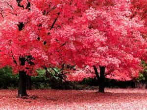 Árboles con hojas rojas