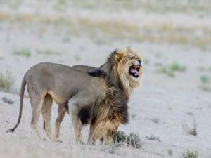 Postal: Dos leones