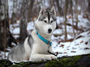 Bonito husky en un bosque