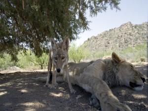Coyote junto a un león