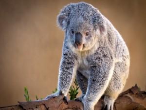 Koala sobre un tronco