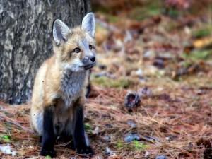 Pequeño zorro en un bosque
