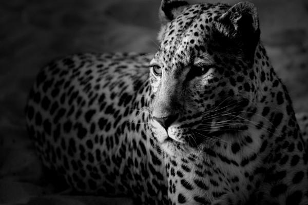 Imagen en blanco y negro de un leopardo