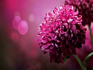 Una hermosa flor de color fucsia