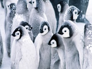Jóvenes pingüinos soportando el frío