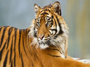 Un joven tigre