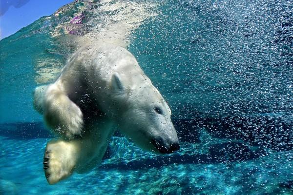 Oso polar bajo el agua