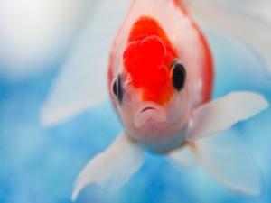Un pez blanco y rojo