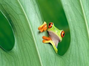 Una simpática rana escondida tras una hoja