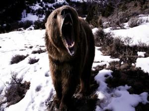 Un oso enfadado
