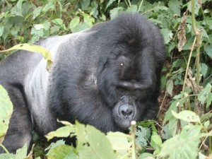 Gorila tumbado entre unas plantas
