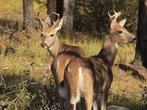 Dos jóvenes ciervos en un bosque