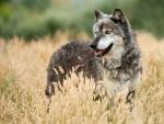 Un lobo entre espigas