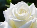 Una hermosa rosa de color blanco