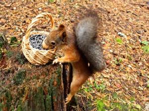 Ardilla cogiendo una nuez de una cesta con pipas