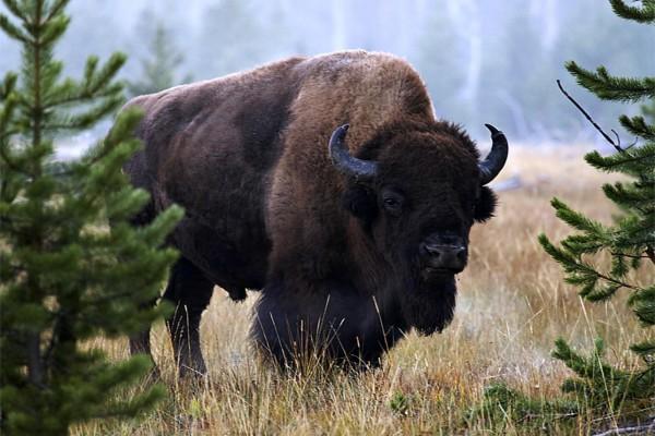 Un bisonte entre los pinos