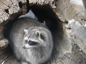 Mapache dentro de un tronco