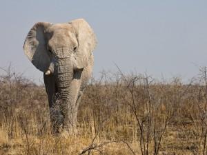 Elefante africano con los cuernos rotos