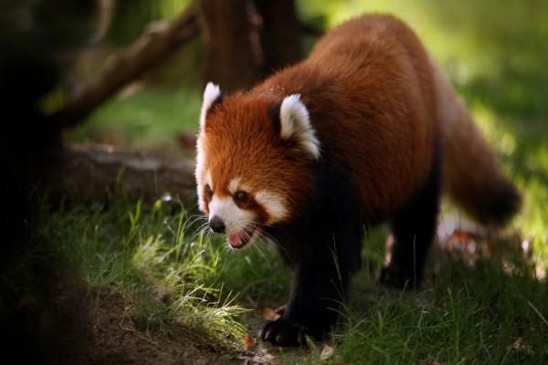 Un lindo panda rojo caminando sobre la hierba