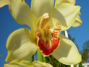 Preciosa orquídea amarilla