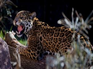 Un leopardo enojado