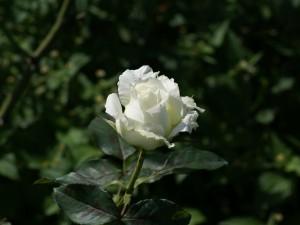Una rosa blanca en el rosal