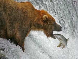 Salmón entrando en la boca de un oso