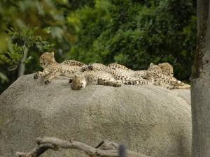 Guepardos descansando sobre una roca